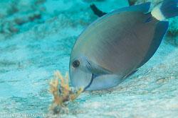 BD-101213-Playa-del-Carmen-3143-Acanthurus-bahianus.-Castelnau.-1855-[Ocean-surgeon].jpg